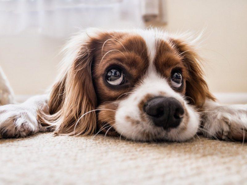 Des alternatives aux allergies saisonnières du chien