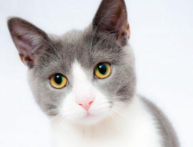 Les meilleures raisons de donner des croquettes sans céréales à un chat